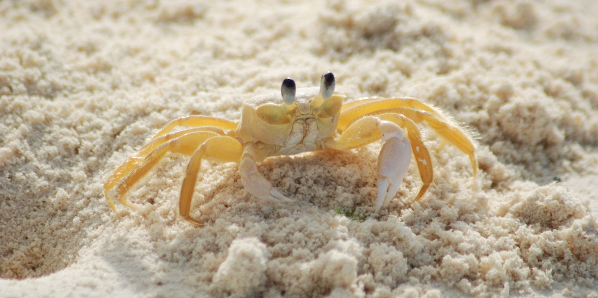 crab-yellow-ocypode-quadrata-atlantic-ghost-crab-63282-1200x600.jpg